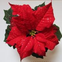 Roter Weihnachtsstern / Winter Rose
